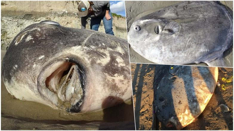 Rare 7-Foot Hoodwinker Fish Washes on a California Beach, Scientists Baffled; View Pics