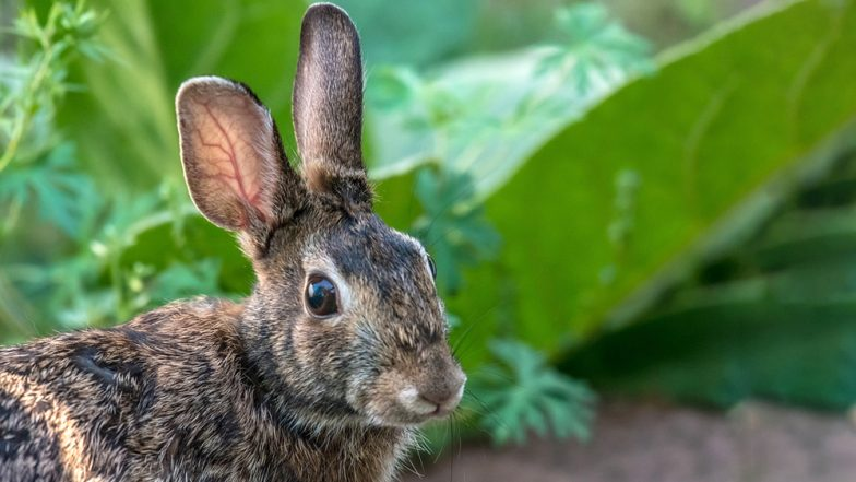 Rabbit Undergoes Surgery in Mumbai, 500-Gram Tumour Removed From Its Chest