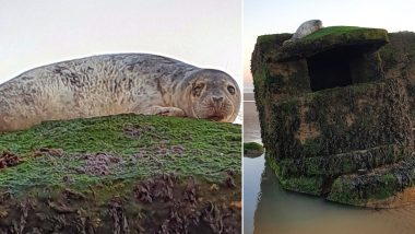 Seal Stuck on Second World War Pillbox at Yorkshire Beach Gets Rescued (See Pictures)