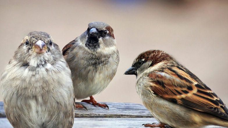 World Sparrow Day 2019: Where Are All the Sparrows in India Gone and How Can We Help?