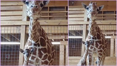 April the Giraffe Giving Birth to a Calf Was Live-Streamed With 3 Lakh Fans! (Watch Cute Video)