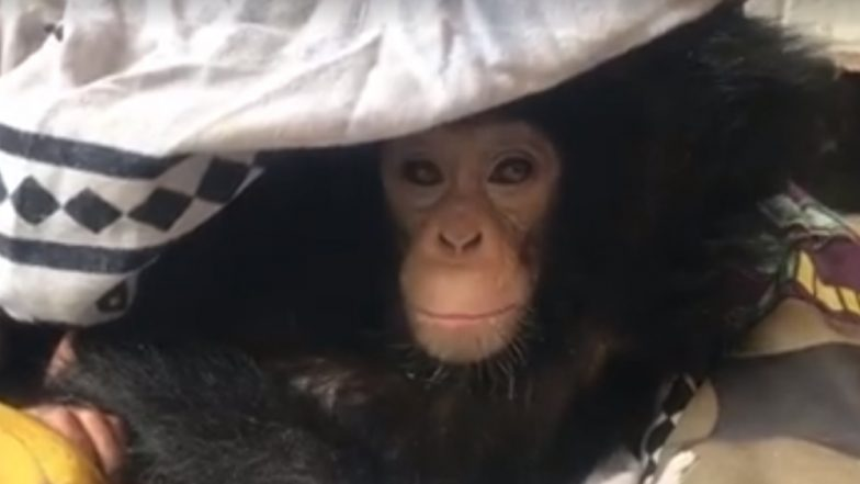 Baby Chimpanzee Hides Under Blanket After Seeing Her Mum Getting Killed by Poachers; Watch Heart-Breaking Video