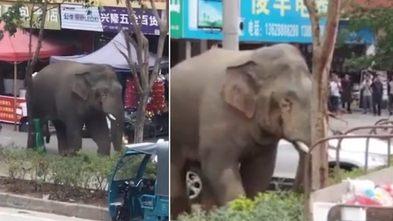 After 'Failing to Find a Girlfriend to Mate' Angry Wild Elephant Creates a Ruckus in China (Watch Video)