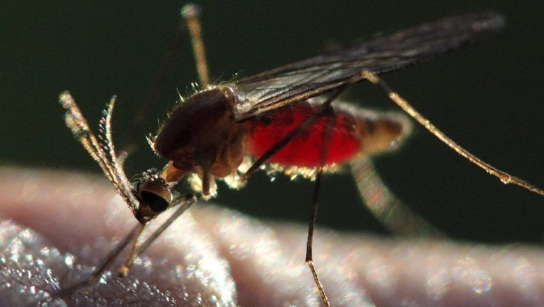 Mosquitoes Suck 100 Litres of Blood a Day in Madurai? Entomologist Says Tamil Nadu City has 40 Breeds of Mosquitoes