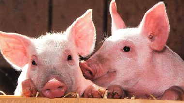 Hong Kong to Cull 6,000 Pigs as First Swine Fever Case Found