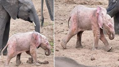 'Pink' Elephant Found in South African Safari Park, Here's Why the Calf is a Rare Specimen