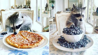 'Verminfluencer' Raccoons and Skunks with Millions of Instagram Followers are Putting Us to Shame with Their Glamourous Lifestyle (View Pics)