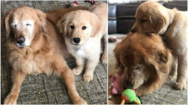 Blind 11-Year-Old Golden Retriever's Friendship With His 4-Month-Old Seeing Eye Dog Is All Things Cute (See Pictures)