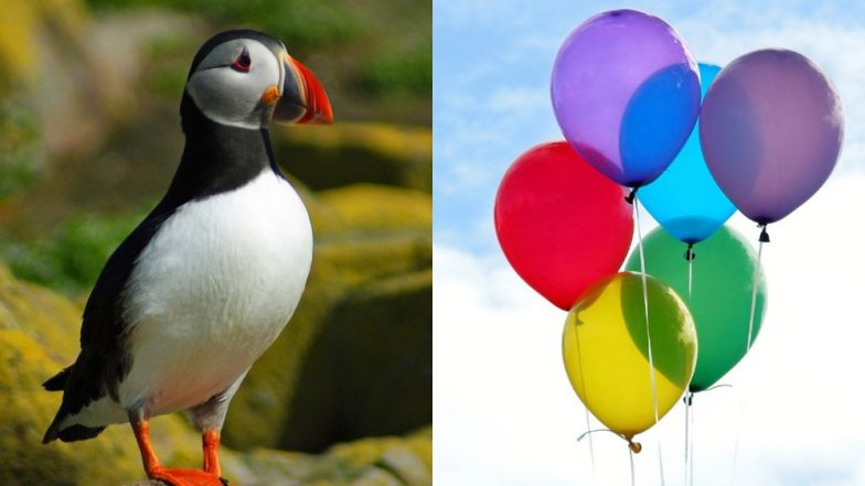 Balloons Are Killing Seabirds! Plastic Pollution Waste Pose Biggest Threat As Birds Eat Them Mistaking For Food, Says New Study