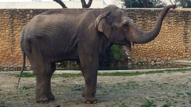 'World's Saddest Elephant' Flavia of Indian Origin Dies after Spending 43 Agonising Years Alone in Spanish Zoo
