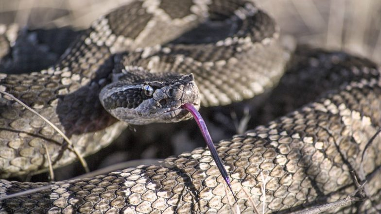 45 Rattlesnakes Found Beneath Texas Home! Watch Chilling Video of Snake Catchers Removing the Reptiles One by One