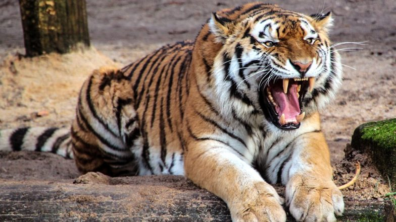 Tiger Attacks And Eats Primary School Teacher in Madhya Pradesh, Half-Eaten Body Found Near Pench National Park