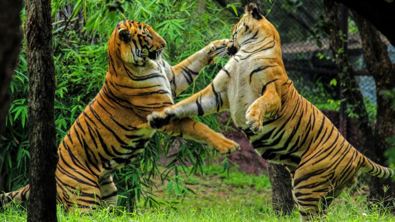 Cannibalism in Tigers: Male Wild Cat Kills 3 Other Tigers in Kanha Reserve and Eats Their Body Parts in a Rare Incident