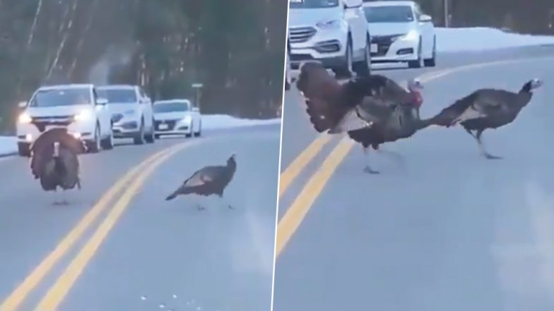 Mumbai Police Tweets Video of Turkey Halting Traffic While Crossing in New Hampshire Road to Give an Important Message