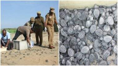 Over 4 Lakh Endangered Olive Ridley Turtles Spotted at Gahirmatha Beach in Odisha (See Pictures)