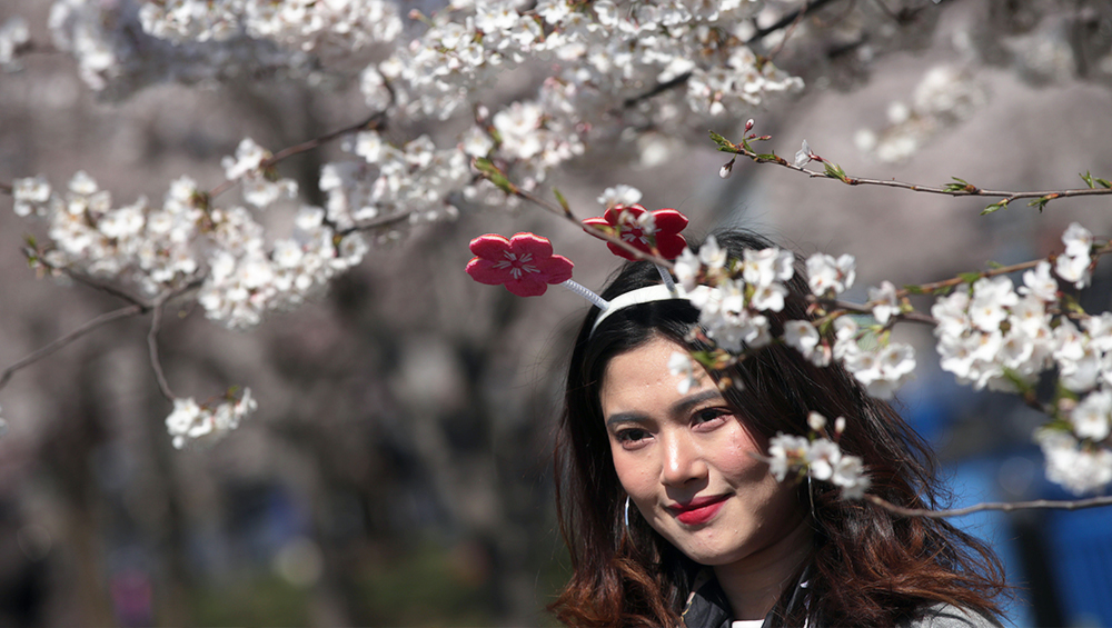 A girl poses for a photo amidst the cherry blossom at Tidal Basin (Photo Credits: Getty Images)