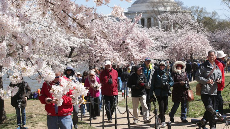 2019 National Cherry Blossom Festival: Washington DC Dresses in Delightful Yoshino Cherry Blooms (See Pictures)