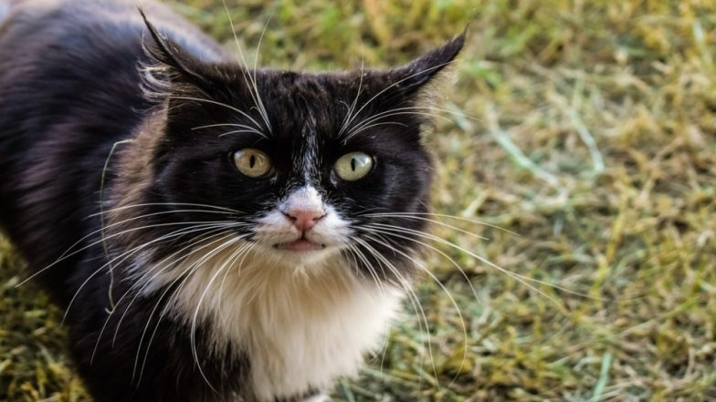 Australian Government Plans to Kill 2 Million Feral Cats With Poisoned Sausages For Ecological Benefit!