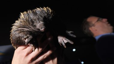 Echidna or Anteater's Milk Contain Anti-Microbial Protein That Prevent Their Young Ones From Infections