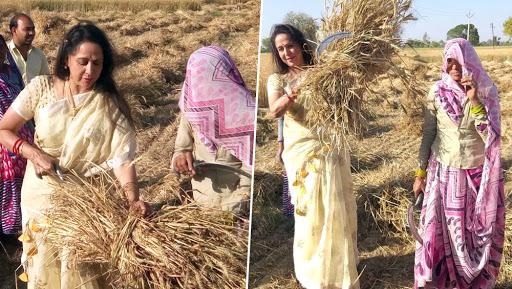 Lok Sabha Elections 2019: BJP MP Hema Malini 'Works in Wheat Farm' to Reach Out to Agrarian Voters in Uttar Pradesh's Mathura