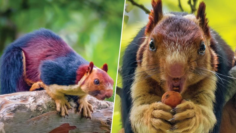 Colourful Squirrel! Photographer Captures Malabar Giant Squirrel in Their Natural Habitat in India (View Astonishing Pics and Video)