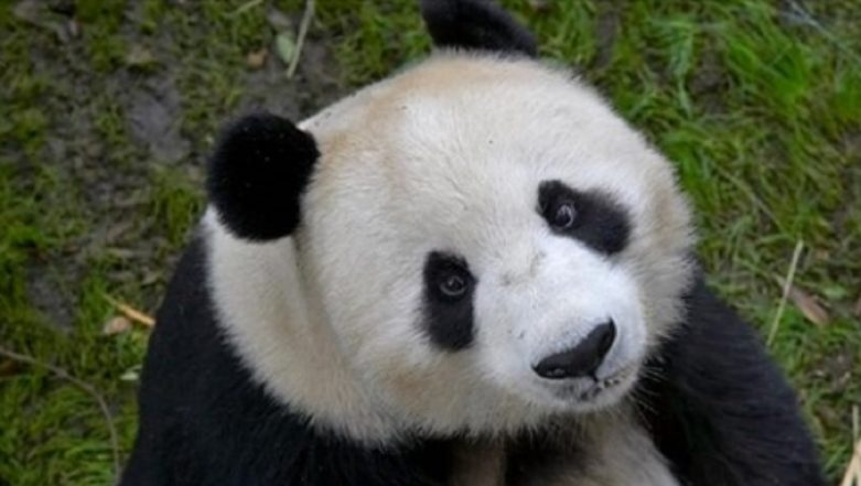 California's San Diego Zoo Holds Farewell Party for Giant Pandas, Watch Video