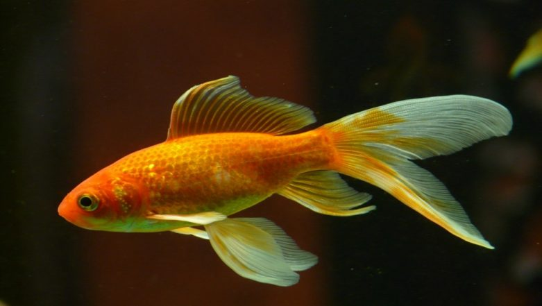 Britain's Oldest Goldfish George Dies at 44
