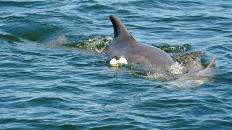 Grieving Mother Dolphin Carrying Dead Calf in Western Australia Goes Viral (See Heartbreaking Pics)