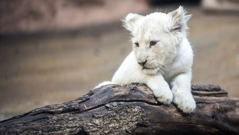 Rare White Lion Born in China's Nantong Forest, Pics of Simba's First Day at Zoo Goes Viral