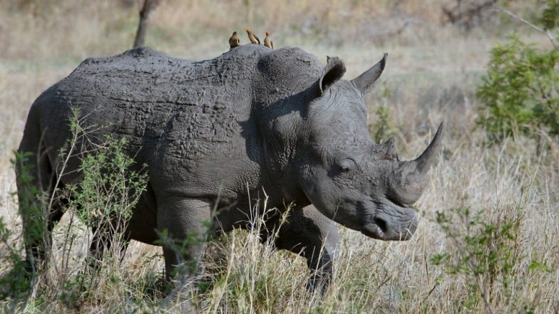 Rhino Poacher Gets Killed by Elephant, Body Eaten by Lions in South Africa's Kruger National Park