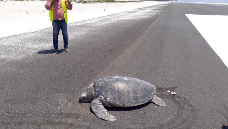 Endangered Sea Turtle Returns to Lay Eggs on Maldives Beach, Finds Maafaru Runway Instead (View Heartbreaking Picture)