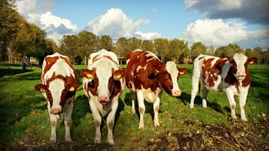 Cow Toilets Built in Netherlands to Prevent Emission of Greenhouse Gas Ammonia From Their Urine