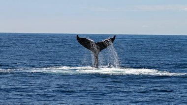 Australia: Humpback Whales Spotted 'Bubble-Net Feeding' For the First Time in the Continent, Watch Mesmerising Video