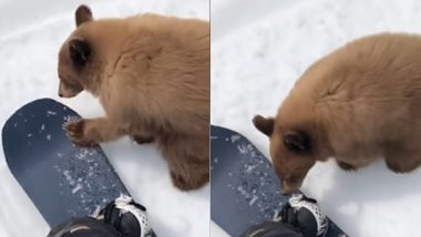 Adorable Bear Comes Close to Skier in California, Could Be Euthanised for Being Too Friendly With Humans (Watch Video)