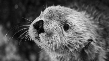 World's Oldest Sea Otter, Charlie Dies at 22 in California's Aquarium