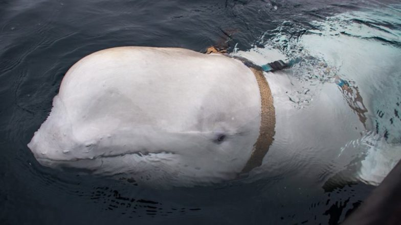 White 'Beluga' Whale Trained by Russian Military Found off North Norway With Harness (See Pictures)