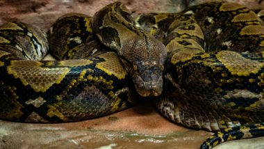 Snake in Toilet! Python Slithers into Indian-Style Commode; Mumbai Resident Faints After Spotting It