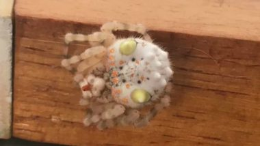 'Sushi' Spider Baffles People Online: Sydney User Shares Picture of Bizarre Eight-Legged Resting in His Home