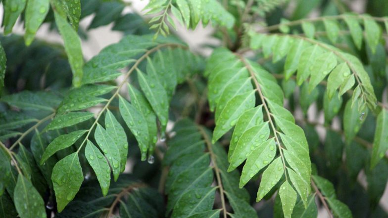 Kadi Patta - Study Details Benefits of Magic Herb Curry Leaves