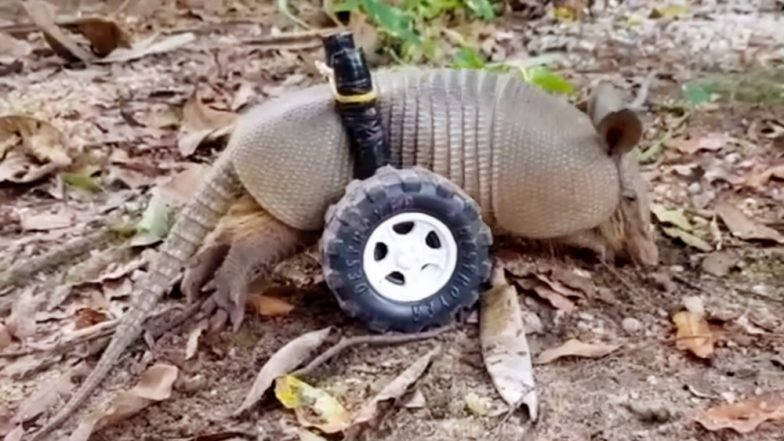 Disabled Baby Armadillo Rescued From Brazil Gets Custom-Made Wheelchair to Walk Around (Watch Cute Video)