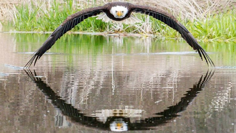 Perfect Symmetrical Picture of Bald Eagle and Its Reflection Goes Viral, View Steve Biro's Unbelievable Pic!