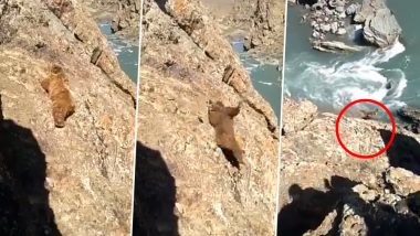 Brown Bear Pelted With Stones, Falls Into River in Jammu and Kashmir; Authorities Launch Search Operation After Video Goes Viral