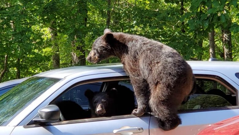 Bear Family Enters US Man's Car and Tries to Drive It, Photos Go Viral