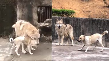 Wolf and Dog Fall in Love at Chinese Zoo! Watch Viral Video of Their Cute Love Story