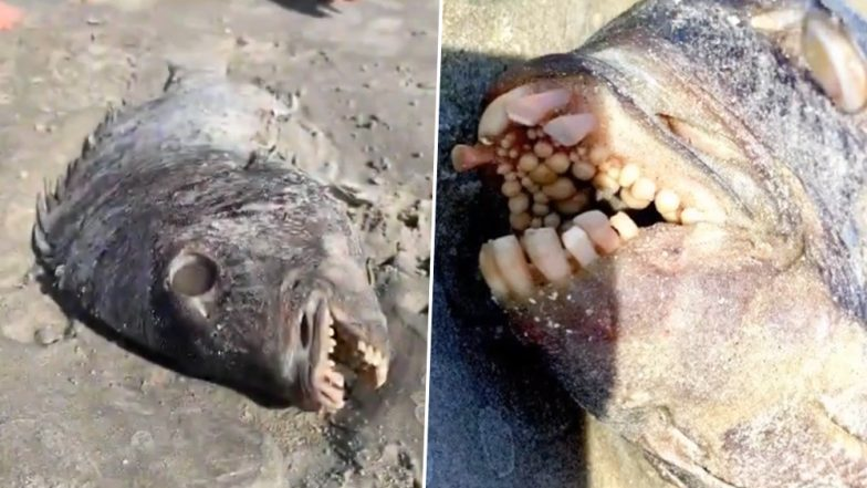 Weird Fish With Human Teeth Found on a US Beach; Know More About Sheepshead Fish (Watch Video)