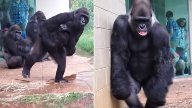 Hilarious Video of Gorillas Trying to Avoid Rain at US Zoo Goes Viral
