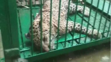 Leopard Attacks 4 in UP, Captured and Released into Dudhwa Park