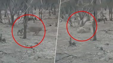 Dog Picks Up Fight With a Lion at Gujarat's Gir National Park; Shocking Video Goes Viral