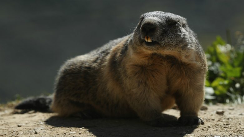 Mongolian Couple Dies of Plague After Eating Raw Marmot Meat