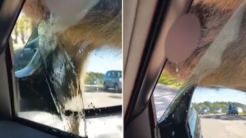 Karma Strikes! Man Makes Fun of Monkey's Penis, The Chimp Pees on Him Through The Car Window (Watch Hilarious Video)